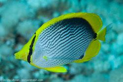 BD-120421-St-Johns-5915-Chaetodon-melannotus.-Bloch---Schneider.-1801-[Blackback-butterflyfish].jpg